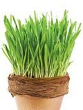 Het gras van de lente Royalty-vrije Stock Foto's