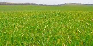 Het gras van de lente Royalty-vrije Stock Afbeeldingen