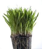 Het gras van de lente Stock Afbeelding