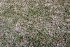 Het gras van het de lentegazon door grijze sneeuwvorm Typhula wordt beïnvloed SP dat in de April-tuin royalty-vrije stock afbeelding