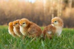 Het Gras van de lenterhode island red chicks exploring voor Eerste Keer royalty-vrije stock afbeeldingen