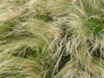 Het Gras van de naald, tenuissima Nassella Royalty-vrije Stock Foto's