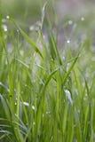 Het gras van de ochtend met dauwdalingen royalty-vrije stock foto's