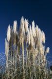 Het gras van de pampa Stock Foto's