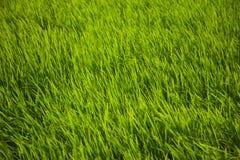 Het gras van de rijst Royalty-vrije Stock Afbeeldingen