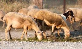 Het gras van de schapenkudde eatng stock foto's