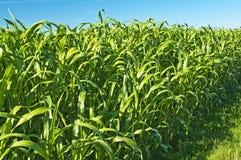 Het gras van de Soedan, de energieinstallatie van de Sorghum sudanense Stock Afbeeldingen