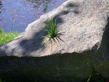 Het Gras van de steen Stock Foto
