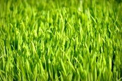 Het Gras van de tarwe Stock Foto's