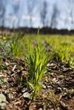 Het gras van de tarwe royalty-vrije stock afbeeldingen
