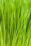 Het Gras van de tarwe stock foto