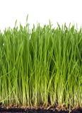 Het gras van de tarwe royalty-vrije stock fotografie