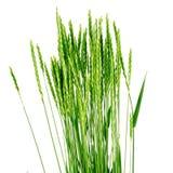 Het gras van de tarwe - ElytrÃgia. Stock Foto