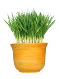 Het gras van de tarwe in pot Stock Foto
