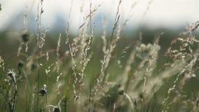 Het gras van de weide stock video