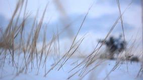 Het gras van de zacht-nadrukwinter het voortkomen uit de sneeuw stock video