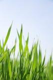 Het gras van de zomer Stock Foto