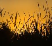 Het gras van de zonsondergang Stock Afbeelding