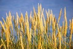 Het gras van duinen Royalty-vrije Stock Afbeeldingen