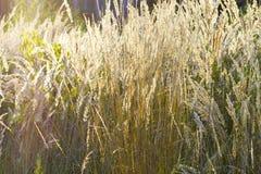 Het gras van het gebied Royalty-vrije Stock Afbeelding