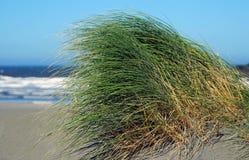 Het gras van het duin Stock Foto