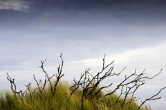 Het gras van het duin Royalty-vrije Stock Foto