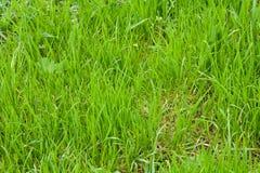 Het gras van het gazon Royalty-vrije Stock Afbeeldingen