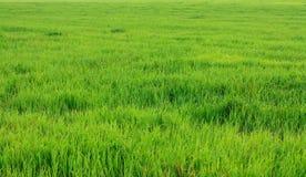 Het gras van het gazon Stock Fotografie