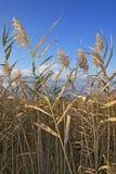 Het gras van het moeras Royalty-vrije Stock Fotografie