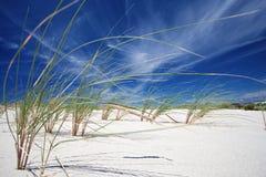 Het gras van het strand (Helmgras) Stock Afbeeldingen