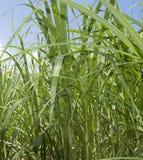 Het gras van het suikerriet Stock Afbeeldingen