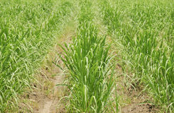 Het gras van het suikerriet Royalty-vrije Stock Afbeeldingen