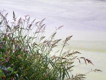 Het gras van het Wildflowermoeras langs oever Stock Afbeelding