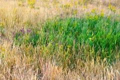 Het gras van het Steppegras op een heldere de zomerdag Royalty-vrije Stock Afbeeldingen
