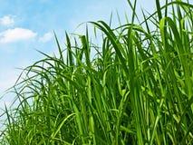 Het gras van Swirch Royalty-vrije Stock Foto