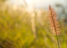 Het gras van vossestaarten Royalty-vrije Stock Foto