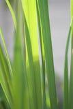 Het grasinstallatie van de citroen Royalty-vrije Stock Foto's