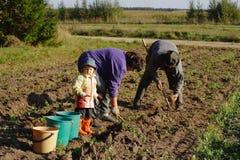 Het graven van de aardappel in landkant stock fotografie