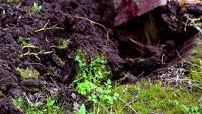 Het graven van de grond in de tuin stock videobeelden