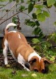 Het graven van Jack Russell Terrier in de werf Royalty-vrije Stock Foto