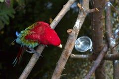 Het Green-winged Papegaai Gladstrijken Stock Foto's