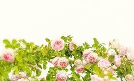 Het grenskader met roze roze bloem ontluikt takken op witte achtergrond Bloemen achtergrond Bloemen frame Frame van bloemen royalty-vrije stock foto's