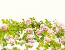 Het grenskader met roze roze bloem ontluikt takken op witte achtergrond Bloemen achtergrond Bloemen frame Frame van bloemen royalty-vrije stock fotografie