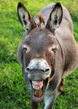 Het grijnzen Ezel Royalty-vrije Stock Afbeeldingen