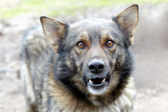 Het grijnzen hond. stock afbeelding
