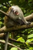 Het grijnzen macaque Royalty-vrije Stock Afbeeldingen