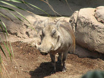 Het grijnzen Wrattenzwijn stock foto's