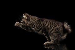 Het grijpen van Kurilian-Bobtailpot zonder staart die Zwarte poot opheffen, stock afbeelding