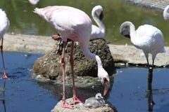 Het grijs is het nieuwe roze (flamingo's!!!) Royalty-vrije Stock Foto's