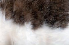 het grijs van het bontdier - wit Royalty-vrije Stock Fotografie